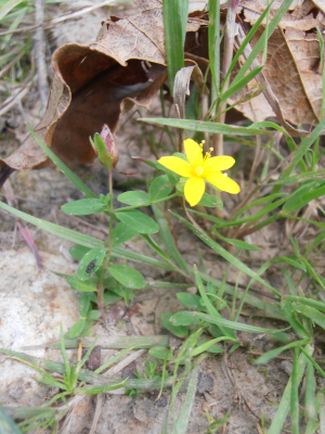 Trailing St John's wort at Ranscombe Farm Reserve