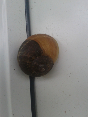unknown snail