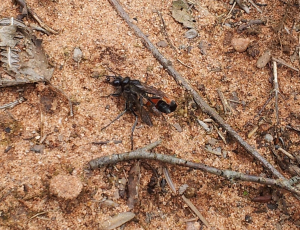 Wasp mating on heathland
