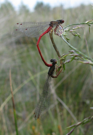 Small Red Damselflies
