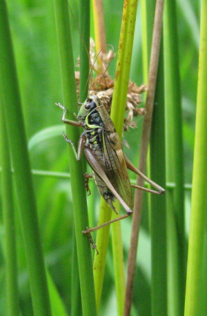 Macropterous Roesel's Bush Cricket