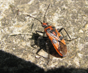 Red and black bug