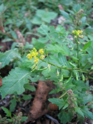 Small yellow crucifer