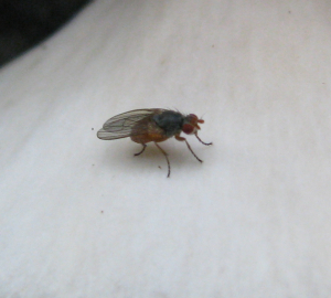 Fly on fungus