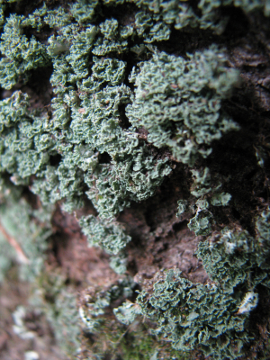 Lichen on beech