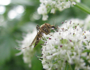 Mosquito feeding on umbellifer