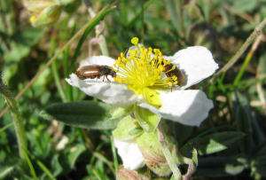 Beetle on White Rockrose
