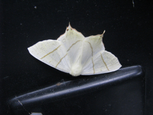 Swallowtailed Moth