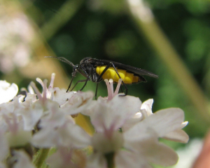 Black and yellow flies