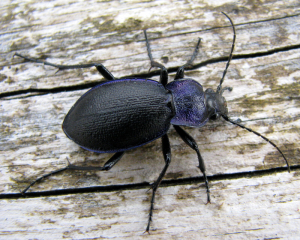Ridged Violet Ground Beetle