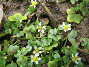 Ivy-leaved Crowfoot