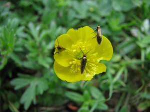 Micro-moths on Buttercup