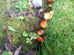 Small Orange Fungi on Lawn