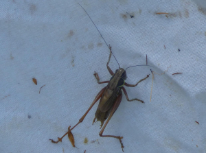 Possible Cricket