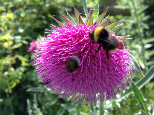 Musk thistle and bees