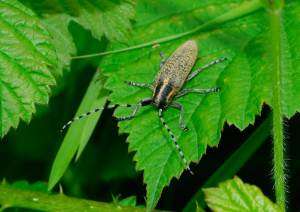 Golden-bloomed Grey Longhorn Beetle