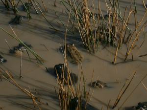 Frogs in shallows