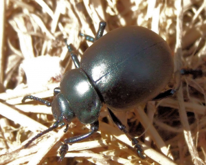 Bloody nosed Beetle
