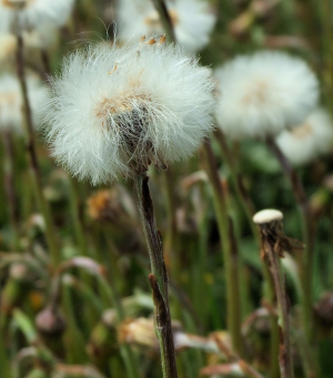 Coltsfoot seed-heads