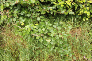 Hedgerow plant