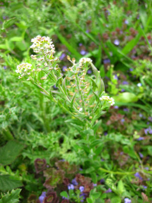 Field Pepperwort