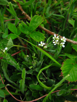 Hairy Rock Cress