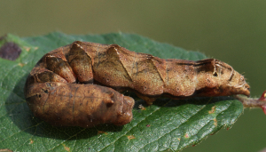 Unidentified caterpillar