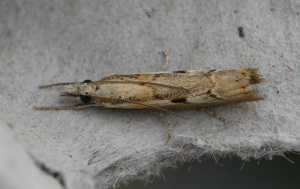 Unidentified Micro Moth