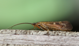 Caddis fly (2)