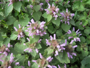 Ground Ivy?