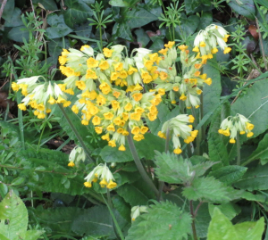 Cowslip or oxlip