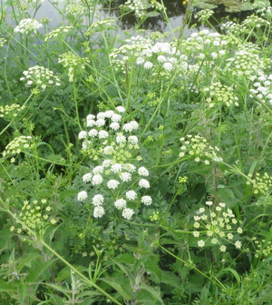 Cow parsley?