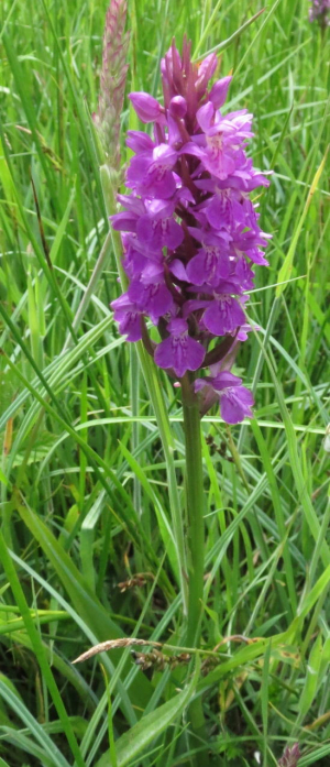 Early purple orchid?