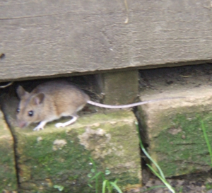 Field Mouse?
