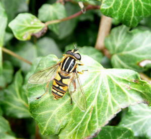 Hover Fly (Helophilus pendulus)