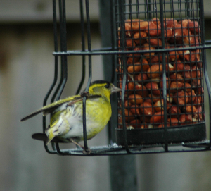 Surprise visitor - Siskin