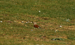 Linnet (in a series of dodgy pictures!)