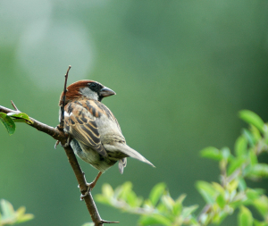 House Sparrow - trying 'new' lens