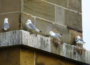 Kittiwakes Scarborough bridge
