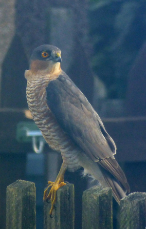 Male Sparrowhawk on the prowl