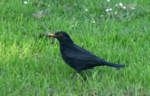 Male Blackbird collecting worms (feeding young?)