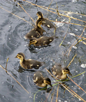 Ducklings - Mallard