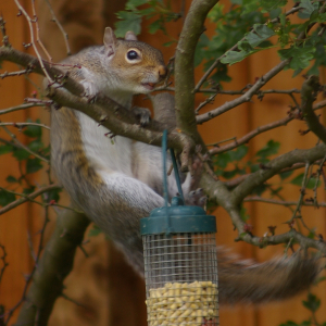 Gymnastic Squirrel