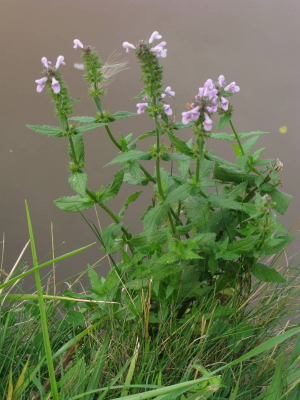 dwarfed marsh woundwort