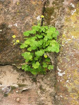 yellow sorrel