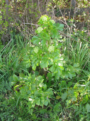 Alexanders - single plant in flower