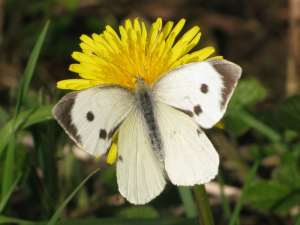 large white butterfly (female) imago