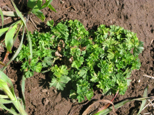 Parsley Piert
