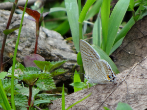 Possible Common Lineblue butterfly (Prosotas nora ardates)