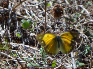 Blurred Clouded Yellow